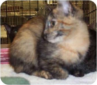 Domestic Shorthair Kitten for adoption in Yorba Linda, California - Cali