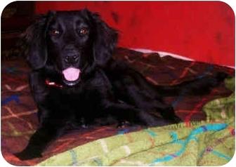 Flat-Coated Retriever Mix Dog for adoption in Latrobe, Pennsylvania - Betty