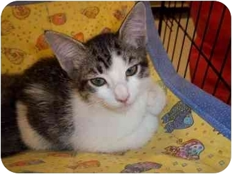 Domestic Mediumhair Kitten for adoption in Houston, Texas - Edmond
