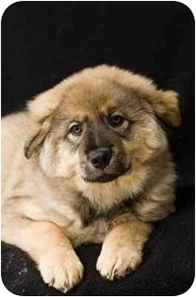 German Shepherd Dog/Labrador Retriever Mix Puppy for adoption in Portland, Oregon - Autumn
