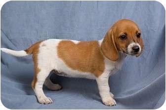 Basset Hound/Beagle Mix Puppy for adoption in Anna, Illinois - GINGER