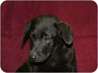 Labrador Retriever/Shar Pei Mix Puppy for adoption in Newtown, Connecticut - Tammi