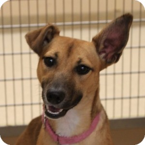 Shepherd (Unknown Type) Mix Dog for adoption in Naperville, Illinois - Abby Rose