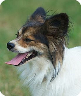 Papillon/Sheltie, Shetland Sheepdog Mix Dog for adoption in Providence, Rhode Island - Boomer