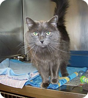 Domestic Longhair Cat for adoption in Dover, Ohio - Boo Boo