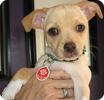 Chihuahua Mix Puppy for adoption in Thousand Oaks, California - Ferb