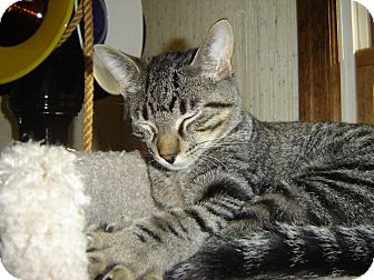 Domestic Shorthair Cat for adoption in Grayslake, Illinois - Pumba