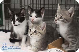 Domestic Shorthair Kitten for adoption in Merrifield, Virginia - Buffy
