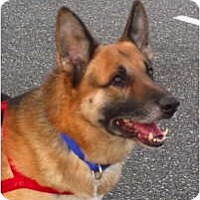 Adopt A Pet :: Sarge - Baltimore, MD