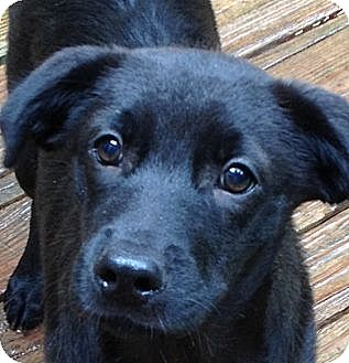 Labrador Retriever/Shepherd (Unknown Type) Mix Dog for adoption in Olive Branch, Mississippi - Tubby