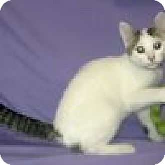Domestic Shorthair Cat for adoption in Powell, Ohio - Rory