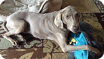 Weimaraner Dog for adoption in Grand Haven, Michigan - Phoebe