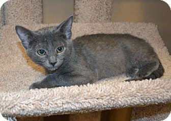 Russian Blue Kitten for adoption in Plano, Texas - MARIA-PLAYFUL LOVING FUN