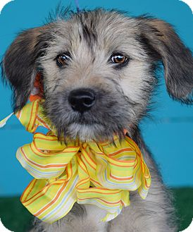 Airedale Terrier/Labrador Retriever Mix Puppy for adoption in Glastonbury, Connecticut - Marsha **ADOPTION PENDING**
