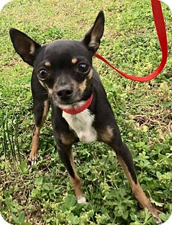 Chihuahua Dog for adoption in Sweetwater, Tennessee - Lola