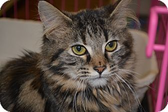 Maine Coon Cat for adoption in Winchester, Kentucky - Allie