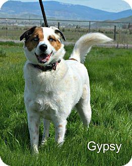 Australian Shepherd Mix Dog for adoption in Yreka, California - Gypsy