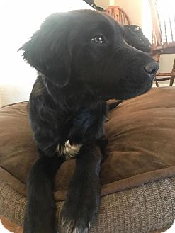 Labrador Retriever/Border Collie Mix Puppy for adoption in Phoenix, Arizona - Lulu