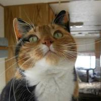 Adopt A Pet :: Miss Priss - Spruce Grove, AB
