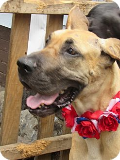 Great Dane Dog for adoption in Baden, Pennsylvania - Ginger