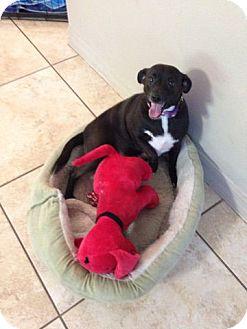 Chihuahua/Miniature Pinscher Mix Puppy for adoption in Oviedo, Florida - Sadie