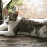 Manx/Domestic Shorthair Mix Cat for adoption in Bastrop, Texas - Olivia Meowsome