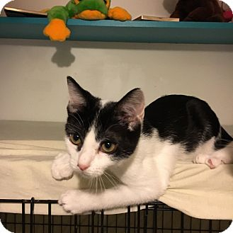 Domestic Shorthair Kitten for adoption in Marietta, Georgia - Hawkeye