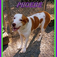 Adopt A Pet :: Phoebe - Berkeley Springs, WV