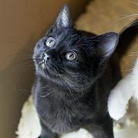 Domestic Shorthair Kitten for adoption in Homewood, Alabama - Nicole