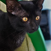 Adopt A Pet :: KITTEN-BOMBAY BABY 1 - DeLand, FL