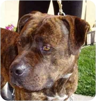 American Pit Bull Terrier Mix Dog for adoption in Berkeley, California - Dynamite