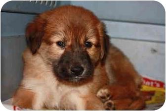 Golden Retriever/German Shepherd Dog Mix Puppy for adoption in Prince William County, Virginia - Fuz Top litter