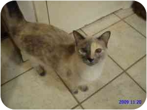 Siamese Cat for adoption in Coppell, Texas - Scarlet