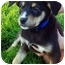 Photo 2 - Border Collie/Shepherd (Unknown Type) Mix Puppy for adoption in Westminster, Colorado - Twix
