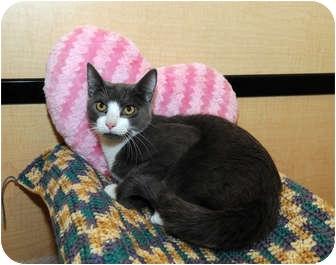 Domestic Shorthair Cat for adoption in Farmingdale, New York - Nougat