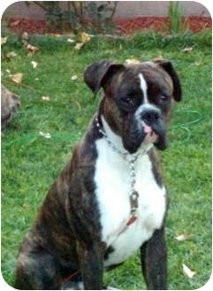 Boxer Mix Dog for adoption in Arcadia, California - Tyson