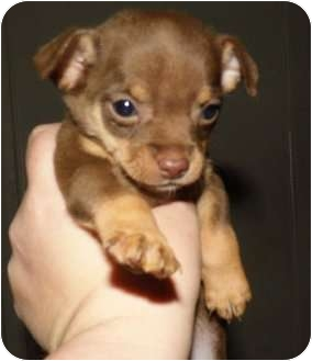 Chihuahua Mix Puppy for adoption in Bel Air, Maryland - Chicco