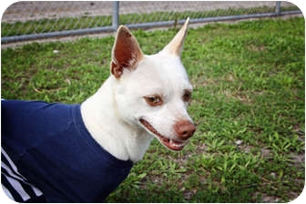 Chihuahua Dog for adoption in Corpus Christi, Texas - Neo