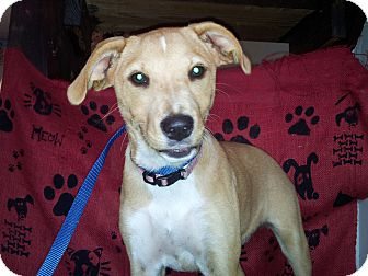 Terrier (Unknown Type, Small) Mix Puppy for adoption in Hammond, Louisiana - Layla