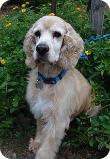 Cocker Spaniel Dog for adoption in Sugarland, Texas - Casper