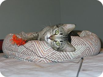 Domestic Shorthair Cat for adoption in West Dundee, Illinois - Mimi