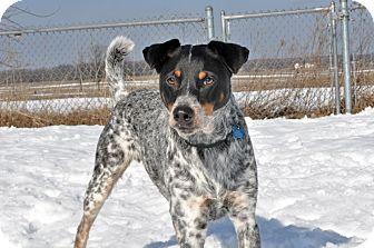 Australian Shepherd/Terrier (Unknown Type, Medium) Mix Dog for adoption in Howell, Michigan - Mater