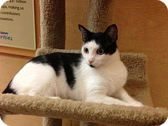 Domestic Shorthair Cat for adoption in Monroe, Georgia - Lily