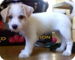 Jack Russell Terrier Mix Puppy for adoption in Encino, California - Charley