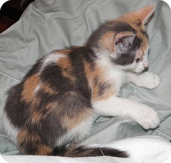 Calico Kitten for adoption in Dale City, Virginia - Amelia