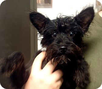 Scottie, Scottish Terrier/Poodle (Toy or Tea Cup) Mix Puppy for adoption in Greencastle, North Carolina - Alana
