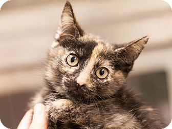 Domestic Shorthair Kitten for adoption in Dallas, Texas - Denver
