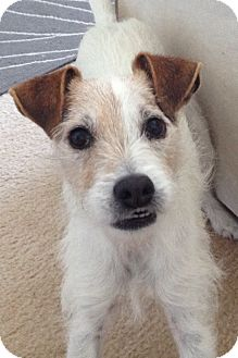 Jack Russell Terrier Mix Dog for adoption in Norwalk, Connecticut - Clyde - in Rocky Hill