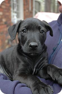 Labrador Retriever/Great Dane Mix Puppy for adoption in CHAMPAIGN, Illinois - Moses