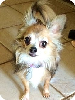 Chihuahua Mix Dog for adoption in Edmond, Oklahoma - Duchess